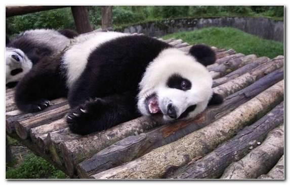 Image Terrestrial Animal Giant Panda Bear Snout Fauna