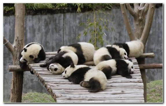 Image Terrestrial Animal Giant Panda Snout Fauna Cuteness