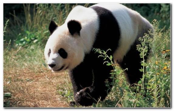 Image terrestrial animal giant panda wildlife cuteness snout