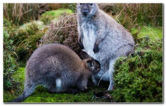 Image Terrestrial Animal Grasses Wallaby Wildlife Grass