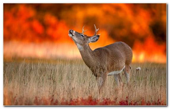 Image terrestrial animal grazing grassland wilderness white tailed deer