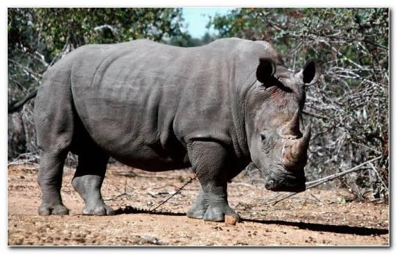 Image terrestrial animal horn wildlife rhinoceros video games