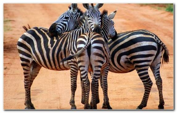 Image Terrestrial Animal Horse Wildlife Zebra Savanna