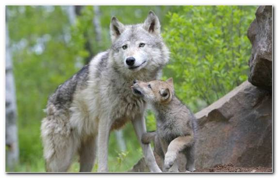 Image Terrestrial Animal Mammal Family Fauna Coyote