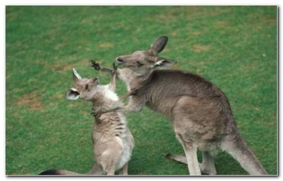 Image terrestrial animal marsupial cuteness wallaby koala