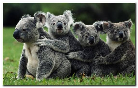 Image terrestrial animal marsupial koala infant grass