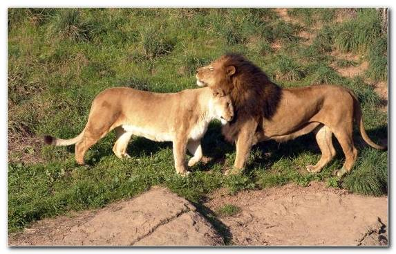Image Terrestrial Animal Masai Lion Dwarka Bhuj Ahmedabad