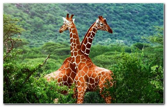 Image terrestrial animal nature reserve giraffe wildlife national park
