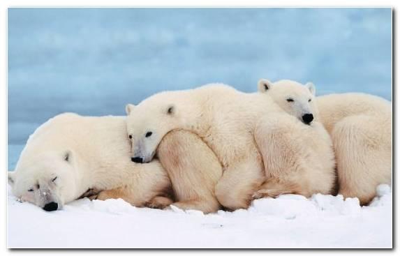 Image Terrestrial Animal Polar Bear Bear Arctic Mammal