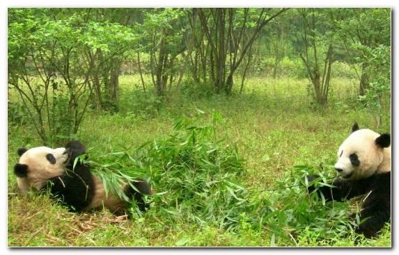 Image Terrestrial Animal Red Panda Giant Panda Habitat Fauna