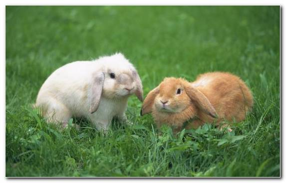 Image Terrestrial Animal Rodent Hare Grasses Grass