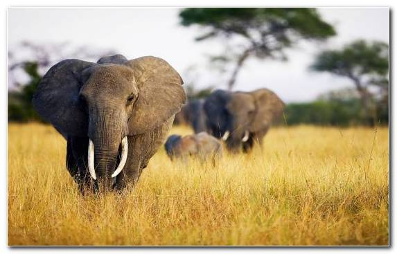 Image Terrestrial Animal Safari Wildlife Grassland Elephant