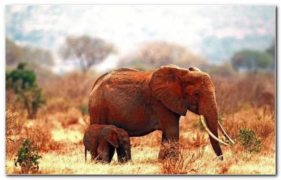Image Terrestrial Animal Savanna African Bush Elephant Wildlife Desert