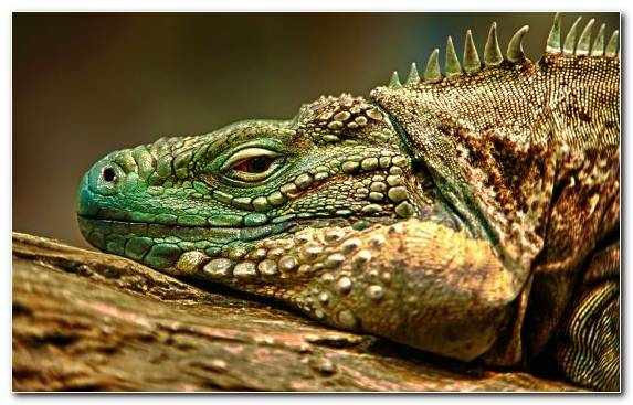 Image terrestrial animal scaled reptile green iguana fauna reptile