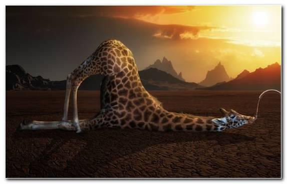 Image Terrestrial Animal Sky Giraffe Giraffidae Wildlife