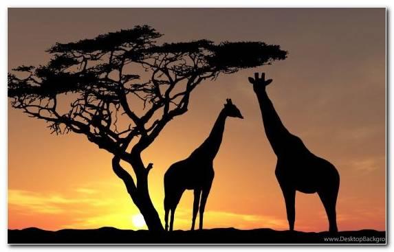 Image Terrestrial Animal Sky Sunset Giraffidae Giraffe