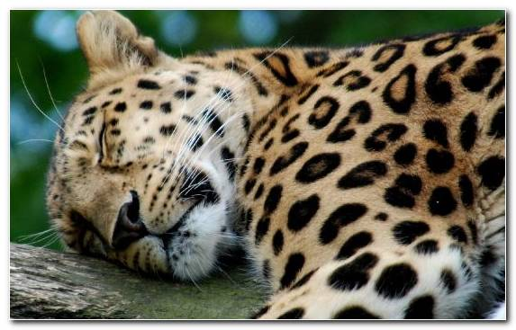 Image Terrestrial Animal Sleeping Mammal Snout Cheetah