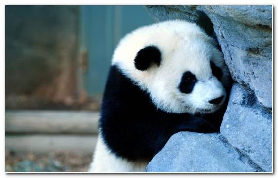 Image Terrestrial Animal Snout Fur Cuteness Giant Panda