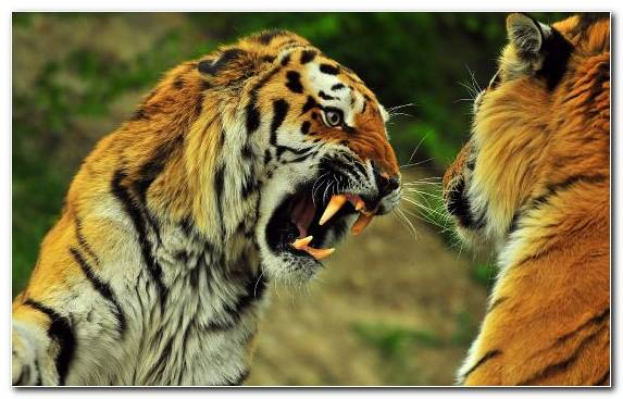 Image terrestrial animal snout tiger wildlife mammal