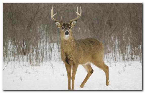 Image Terrestrial Animal Snout Wildlife Winter Antler