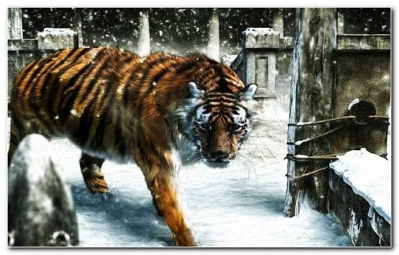 Image Terrestrial Animal Snow Zoo Winter Tiger