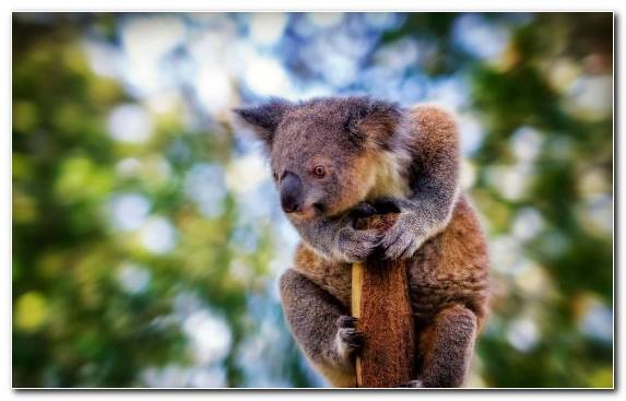 Image Terrestrial Animal Tree Fur Marsupial Bear