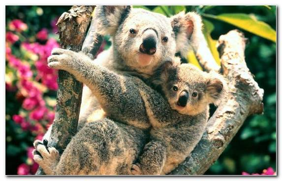 Image Terrestrial Animal Tree Marsupial Animal Koala