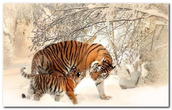 Image Terrestrial Animal White Tiger Siberian Tiger Big Cats Tiger