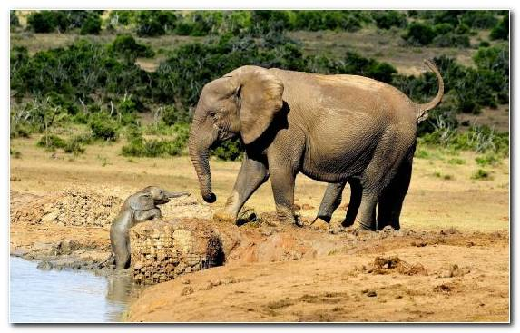 Image Terrestrial Animal Wilderness Desert African Elephant Indian Elephant
