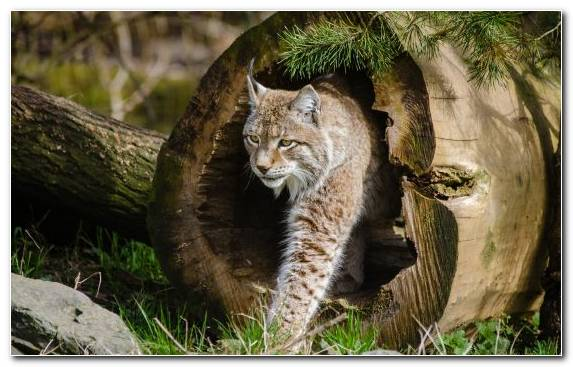 Image Terrestrial Animal Wilderness Felidae Bobcat Grasses