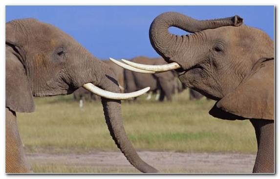 Image Terrestrial Animal Wildlife African Elephant Tusk Indian Elephant