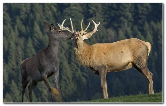 Image Terrestrial Animal Wildlife Antler Horn Deer
