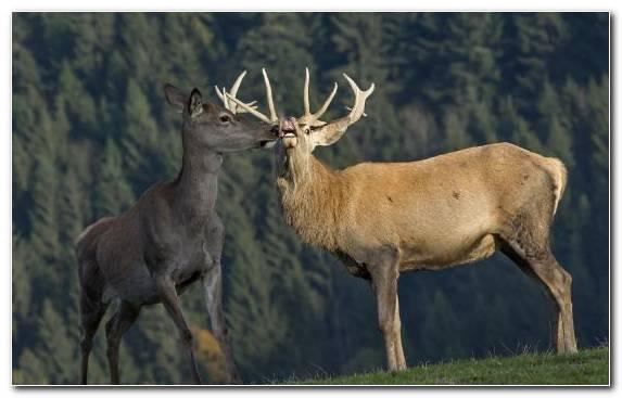 Image Terrestrial Animal Wildlife Antler Horn Deer