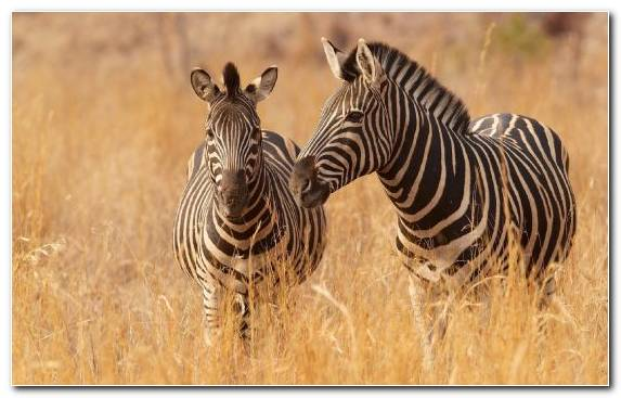 Image Terrestrial Animal Wildlife Ecosystem Grassland Zebra