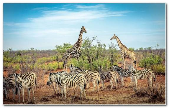 Image Terrestrial Animal Wildlife Ecosystem Grazing Northern Giraffe