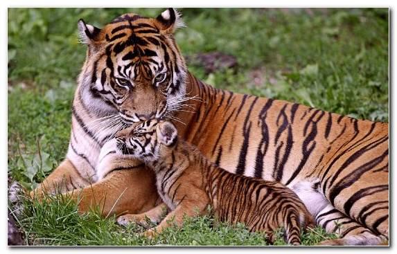 Image Terrestrial Animal Wildlife Felidae Big Cat Bengal Tiger