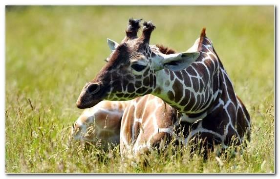 Image Terrestrial Animal Wildlife Giraffe Giraffidae