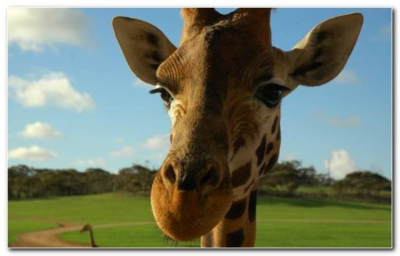 Image Terrestrial Animal Wildlife Giraffidae Animal Savanna