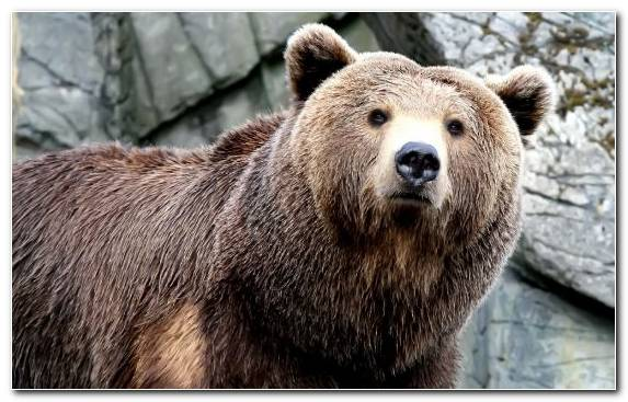 Image Terrestrial Animal Wildlife Grizzly Bear Snout Bear