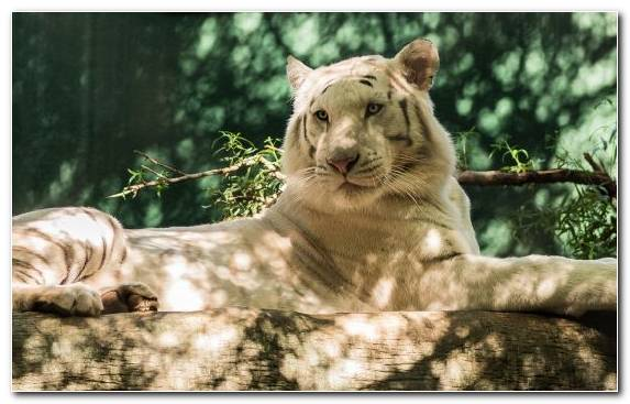 Image Terrestrial Animal Wildlife Organism White Tiger Fauna