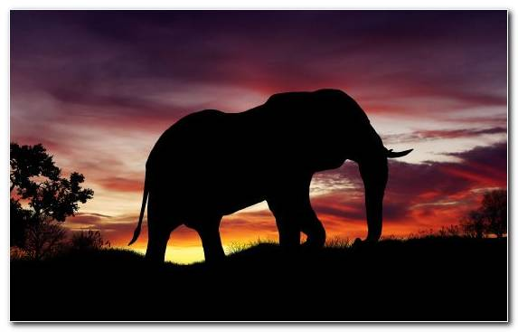 Image Terrestrial Animal Wildlife Savanna Elephant African Elephant