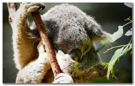 Image Terrestrial Animal Wombat Cuteness Snout Fur