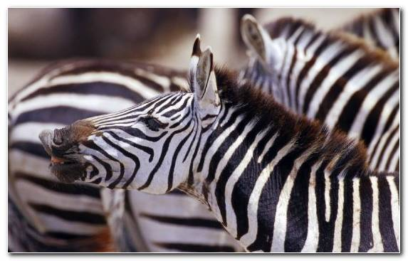 Image Terrestrial Animal Zebra Snout Animal Africa