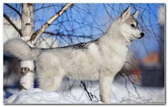 Image the siberian husky Siberian Husky husky dog breed group dog like mammal