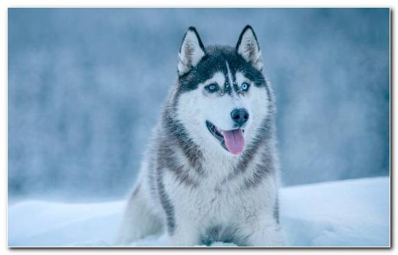 Image the siberian husky dog breed Siberian Husky dog like mammal sakhalin husky
