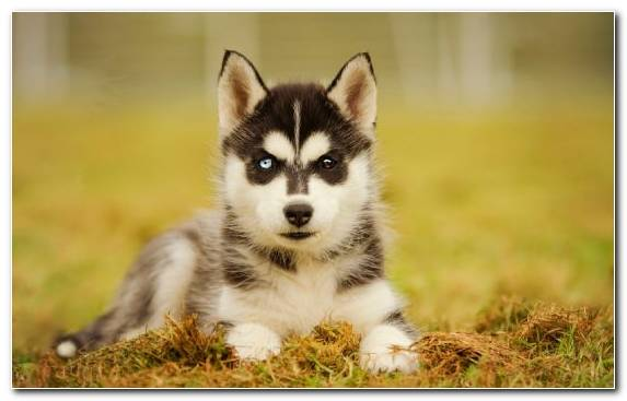 Image The Siberian Husky Dog Breed Siberian Husky Dog Tamaskan Dog