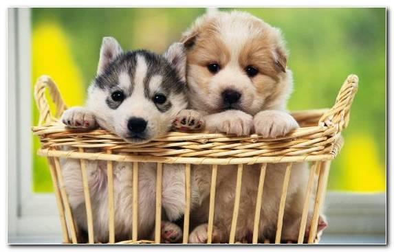Image The Siberian Husky Dog Like Mammal Sled Dog Pet Puppy