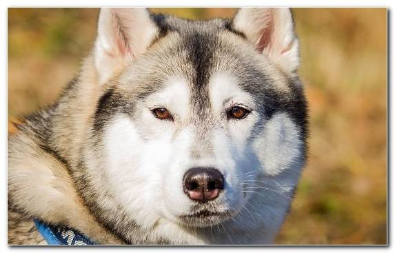 Image the siberian husky dog saarloos wolfdog sled dog alaskan husky