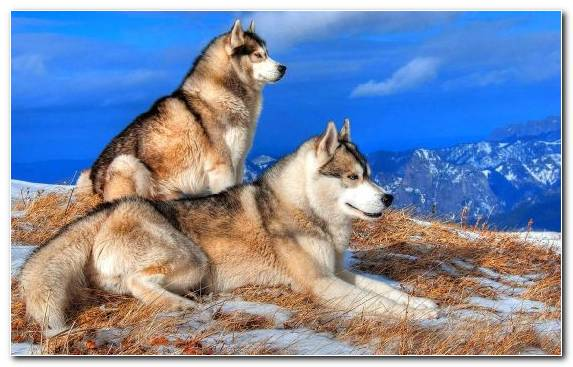 Image The Siberian Husky Dog Wildlife Canvas Dog Like Mammal