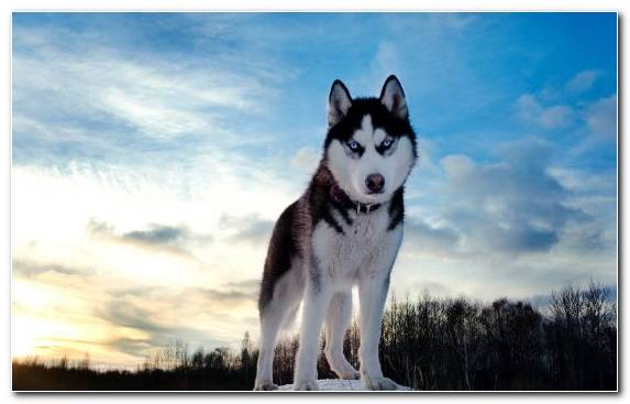 Image the siberian husky paws husky dog dog breed